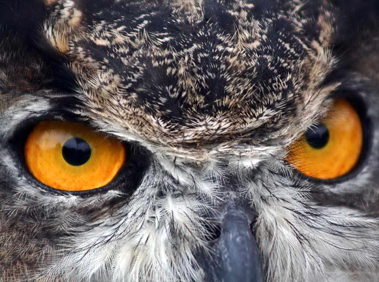 eyes of the great horned owl