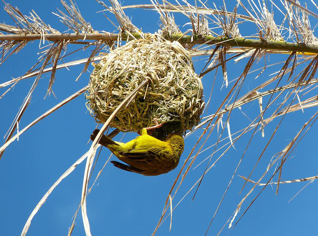 yellow weaver and nest