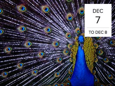 ASAB peacock