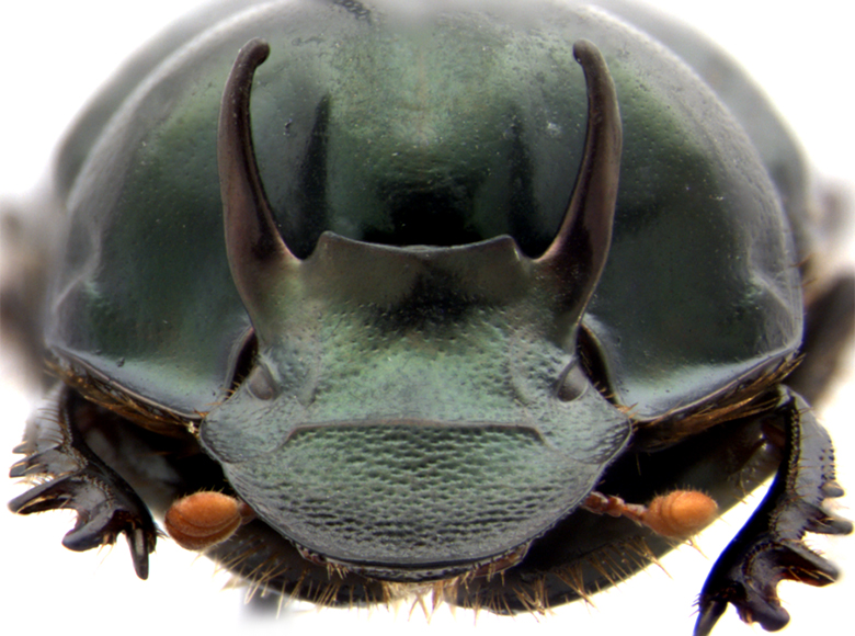 Conditional gene expression, developmental plasticity, and the diversification of horned beetles thumbnail