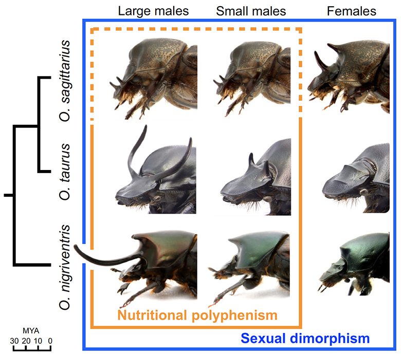 Morphological diversity among Onthophagus beetle species