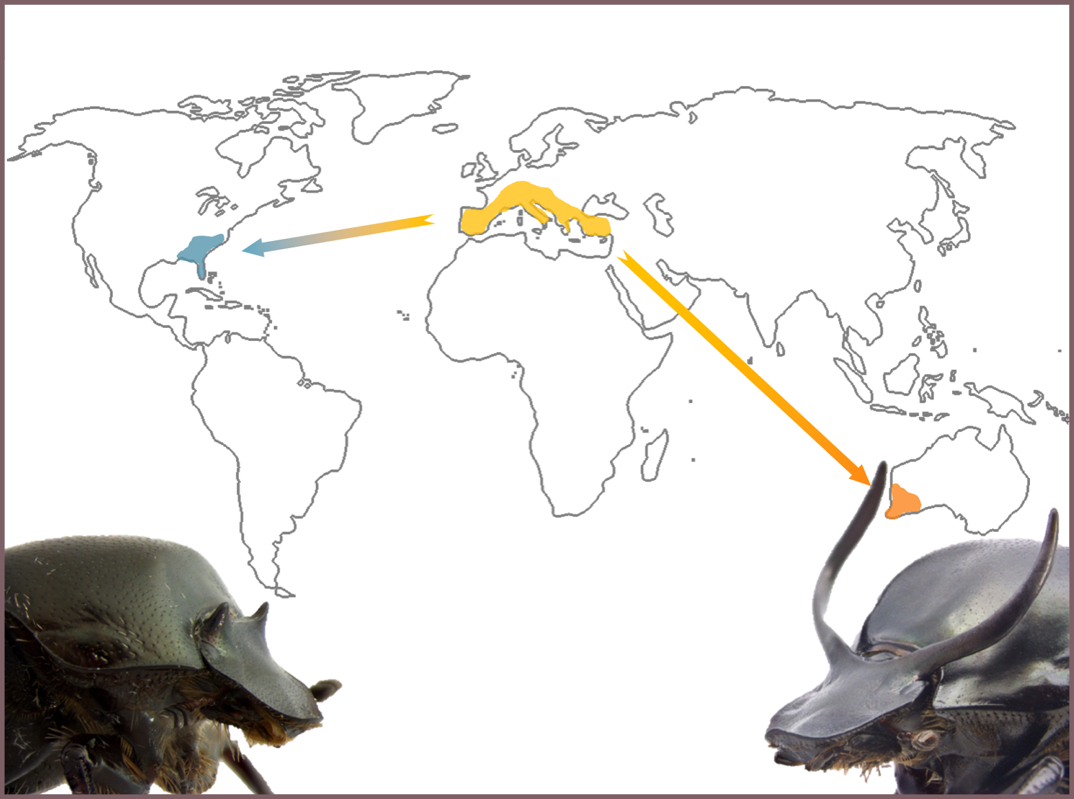 Rapid evolution and phenotypic plasticity: insights from horned beetles thumbnail