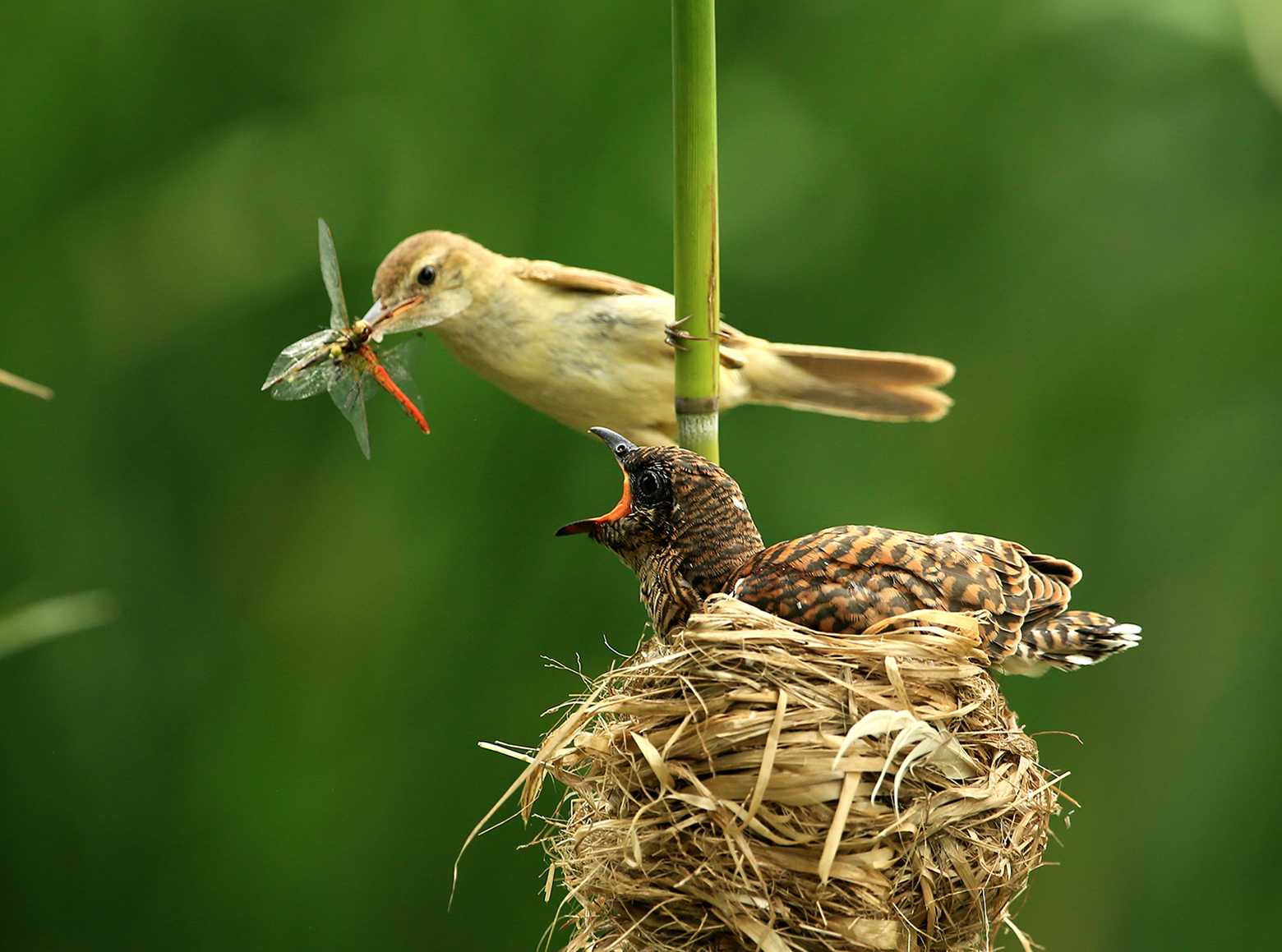 reed warbler feeding a cuckoo chick in the nest