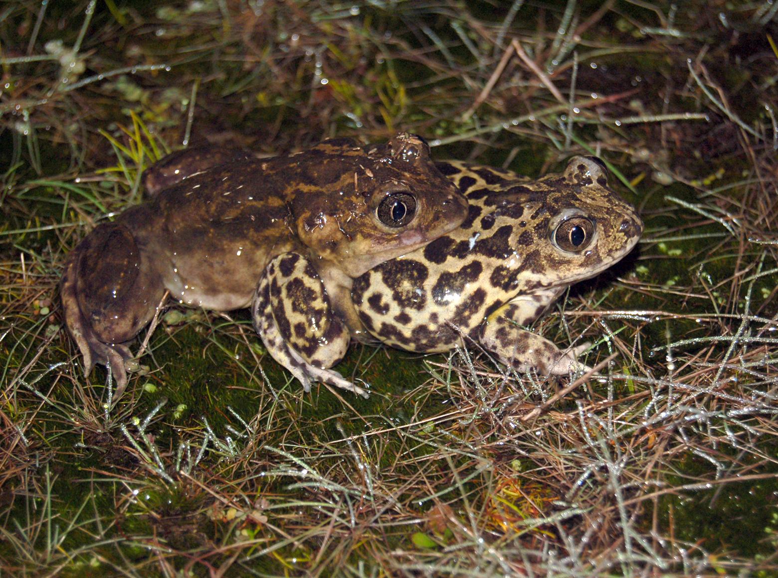 Pair of Pelobates toads