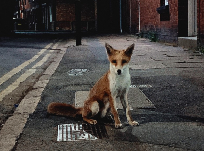 Developmental bias driving self-domestication processes and macroevolution? The case of red foxes living in urban and rural habitats thumbnail