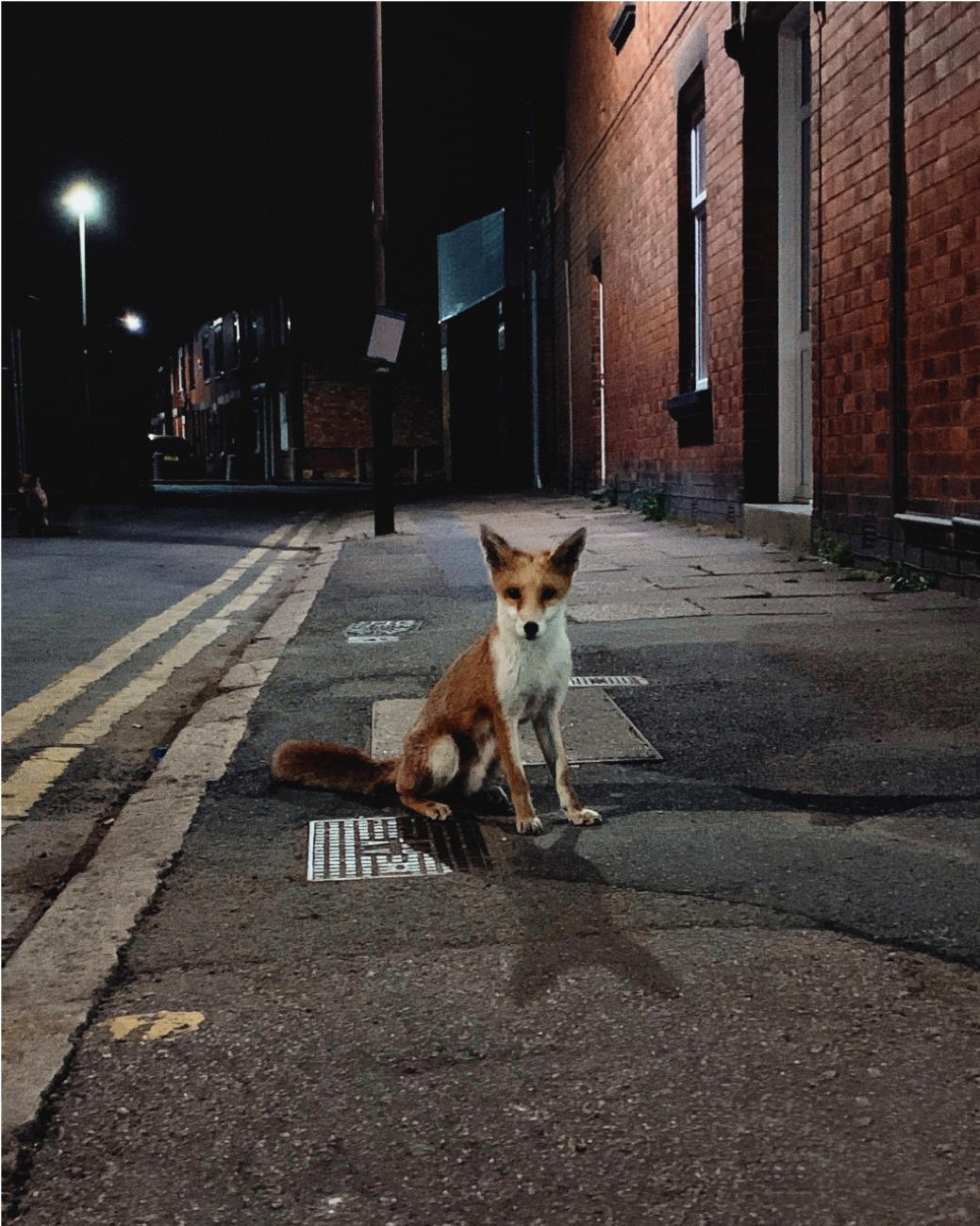 Photo of a red fox in an urban setting