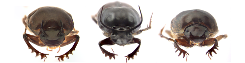 What can horned beetles tell us about the mechanisms of plasticity and their evolution? thumbnail